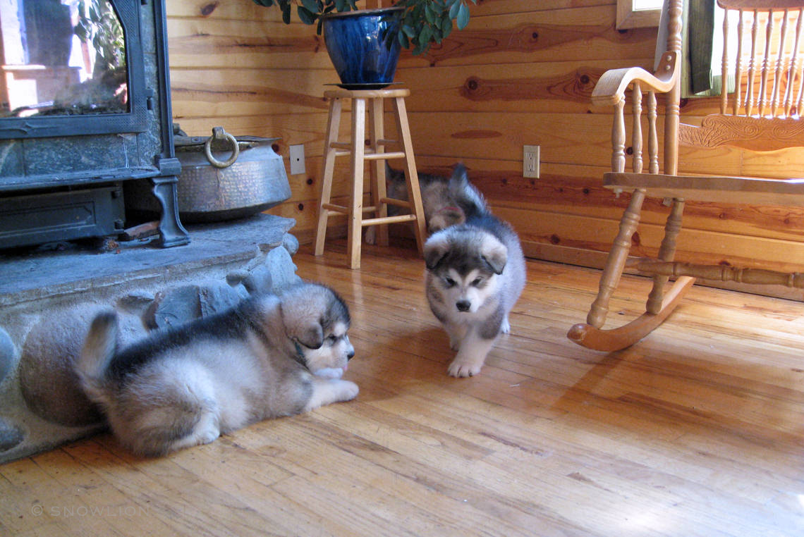 Alaskan Malamute Puppies for Sale | Snowlion Alaskan