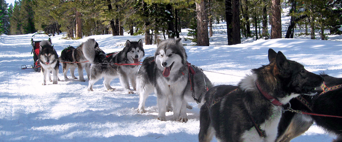Alaskan Malamute Sled Dogs Health Tested Quality Puppies Snowlion Kennels