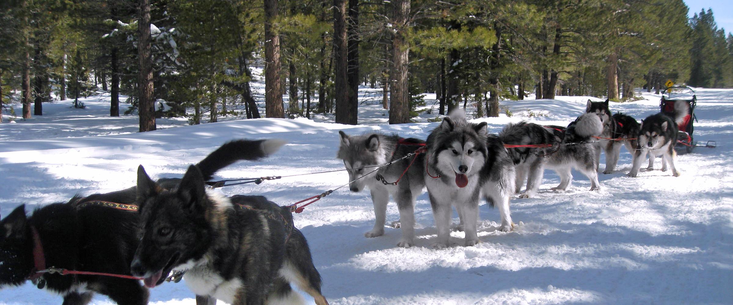 Snowlion Alaskan Malamutes Sledding