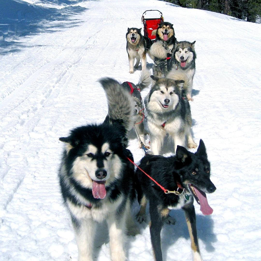 Alaskan Malamute Sled Team Snowlion Malamutes