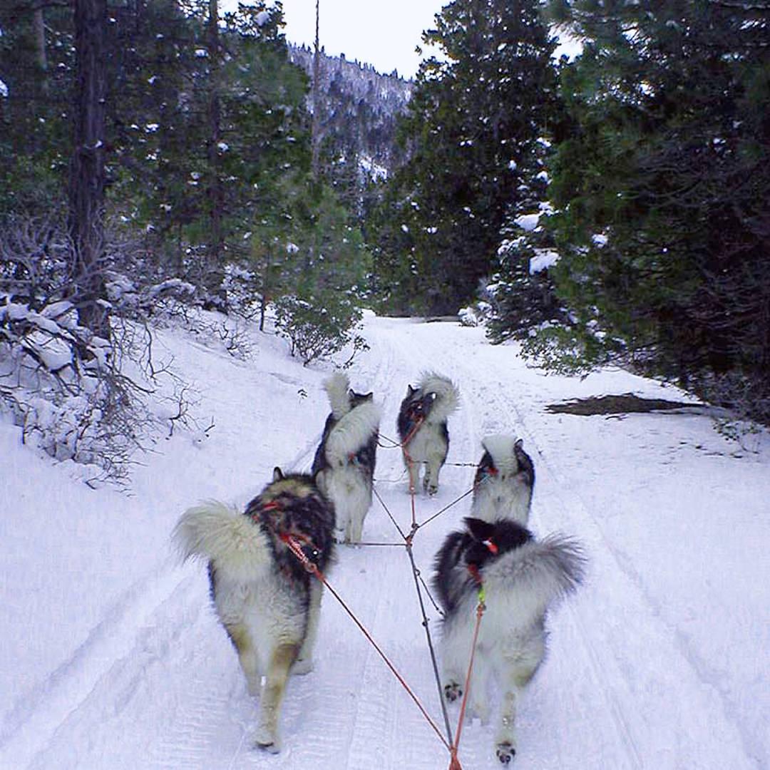 Snowlion Alaskan Malamutes Working Team Dogs Sled
